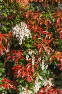 tasmanian plant
